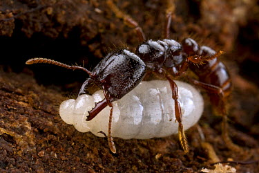 Dracula Ant (Amblyopone sp) worker puncturing the skin of a larva to sip its trickling blood, this behavior does not seem to harm the larva, but feeds the adults, Muller Range, Papua New Guinea  -  Piotr Naskrecki