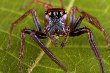 Jumping Spider (Salticidae), New Britain, Papua New Guinea  -  Piotr Naskrecki