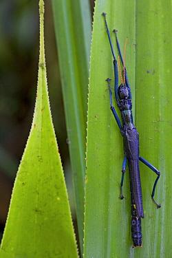 Indigo Walking Stick (Megacrania nigrosulfurea), New Britain, Papua New Guinea  -  Piotr Naskrecki
