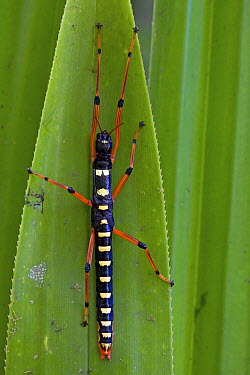 Indigo Walking Stick (Megacrania nigrosulfurea) sub-adult, New Britain, Papua New Guinea  -  Piotr Naskrecki
