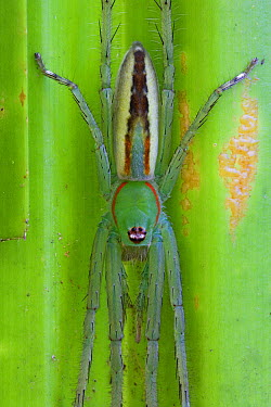 Fishing Spider (Pisauridae), New Britain, Papua New Guinea  -  Piotr Naskrecki