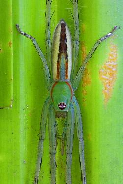 Fishing Spider (Pisauridae), New Britain, Papua New Guinea  -  Piotr Naskrecki