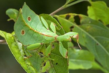 Leaf Insect (Phyllium sp) leaf mimic, New Britain, Papua New Guinea  -  Piotr Naskrecki