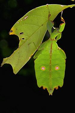 Leaf Insect (Phyllium sp) mimicking leaf, New Britain, Papua New Guinea  -  Piotr Naskrecki