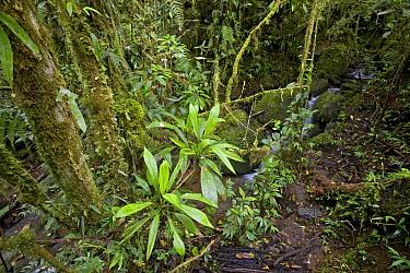 Epiphytes in rainforest, Mount Gahavisuka Provincial Park, Papua New Guinea  -  Piotr Naskrecki