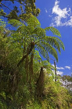 Treefern (Cyathea sp), Mount Gahavisuka Provincial Park, Papua New Guinea  -  Piotr Naskrecki