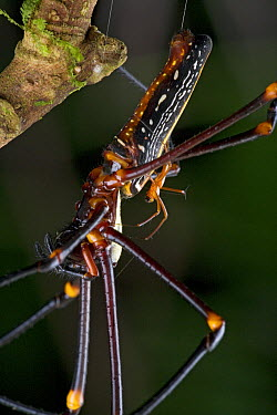 Giant Wood Spider (Nephila maculata) male and much larger female mating, New Britain, Papua New Guinea  -  Piotr Naskrecki