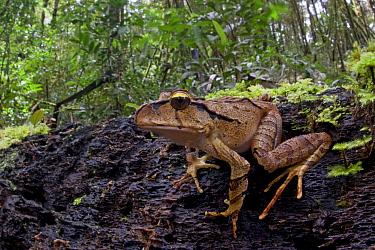Australian Ground Frog (Lechriodus aganoposis) in rainforest, Muller Range, Papua New Guinea  -  Piotr Naskrecki