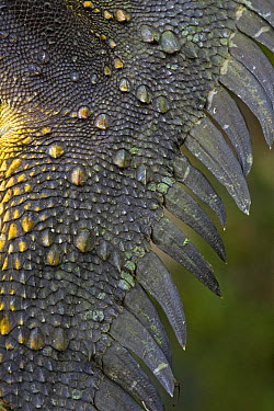 Indonesian Forest Dragon (Hypsilurus dilophus) tail scales, Muller Range, Papua New Guinea  -  Piotr Naskrecki