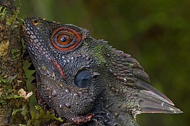 Indonesian Forest Dragon (Hypsilurus dilophus), Muller Range, Papua New Guinea  -  Piotr Naskrecki
