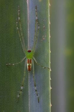 Fishing Spider (Pisauridae), Muller Range, Papua New Guinea  -  Piotr Naskrecki