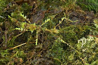 Walking Stick (Pericentropsis sp) camouflaged on moss, Muller Range, Papua New Guinea  -  Piotr Naskrecki