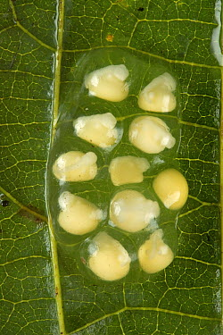 Microhylid Frog (Oreophryne sp) eggs of newly discovered species, Muller Range, Papua New Guinea  -  Piotr Naskrecki