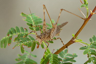 Katydid (Ewanella longipes), Richtersveld, Northern Cape, South Africa  -  Piotr Naskrecki