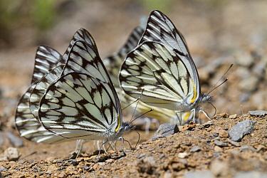 Moth pair feeding on minerals, Fort Fordyce Nature Reserve, Eastern Cape, South Africa  -  Piotr Naskrecki