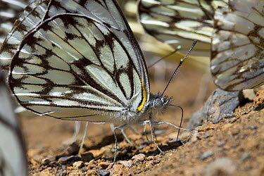 Moth feeding on minerals, Fort Fordyce Nature Reserve, Eastern Cape, South Africa  -  Piotr Naskrecki