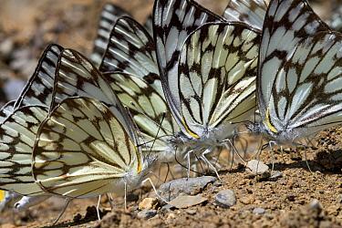 Moth trio feeding on minerals, Fort Fordyce Nature Reserve, Eastern Cape, South Africa  -  Piotr Naskrecki