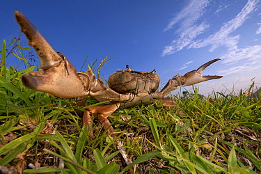Crab (Potamonautes sp) in defensive posture, Silaka Nature Reserve, Eastern Cape, South Africa  -  Piotr Naskrecki