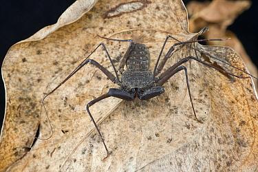 Whip Scorpion (Phrynus goesii), Saba, West Indies, Caribbean  -  Piotr Naskrecki