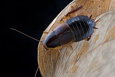 Short-winged Forest Cockroach (Pelmatosilpha sp), Saba, West Indies, Caribbean  -  Piotr Naskrecki