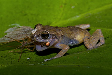 Whistling Frog (Eleutherodactylus johnstonei) feeding on insect prey, Saba, West Indies, Caribbean  -  Piotr Naskrecki