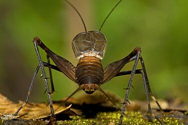 Saba Cricket (Amphiacusta saba) male calling, Saba, West Indies, Caribbean  -  Piotr Naskrecki