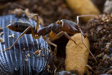 Ant (Odontomachus ruginodis), Saba, West Indies, Caribbean  -  Piotr Naskrecki