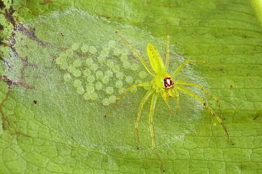 Jumping Spider (Lyssomanes portoricensis) female protecting her clutch of eggs, Saba, West Indies, Caribbean  -  Piotr Naskrecki