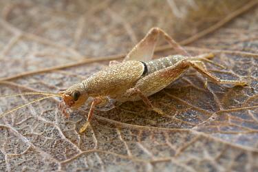 Cricket (Gryllidae), Saba, West Indies, Caribbean  -  Piotr Naskrecki