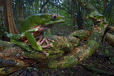 Giant Monkey Frog (Phyllomedusa bicolor) female watching an approaching male, Surinam  -  Piotr Naskrecki
