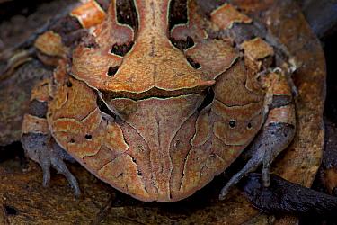 Amazon Horned Frog (Ceratophrys cornuta), Sipaliwini, Surinam  -  Piotr Naskrecki