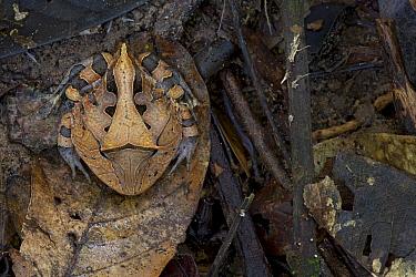 Amazon Horned Frog (Ceratophrys cornuta) camouflaged on leaf, Sipaliwini, Surinam  -  Piotr Naskrecki