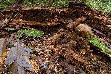 Goliath Bird-eating Spider (Theraphosa blondi), Sipaliwini, Surinam  -  Piotr Naskrecki