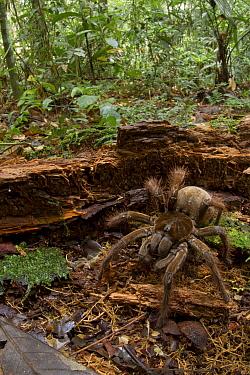 Goliath Bird-eating Spider (Theraphosa blondi) in rainforest, Sipaliwini, Surinam  -  Piotr Naskrecki