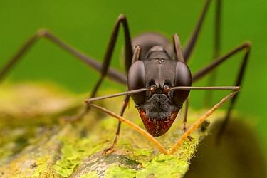 Ant (Gigantiops destructor), Sipaliwini, Surinam  -  Piotr Naskrecki