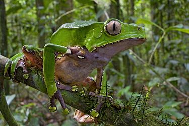 Giant Monkey Frog (Phyllomedusa bicolor) in rainforest, Brownsberg Reserve, Surinam  -  Piotr Naskrecki