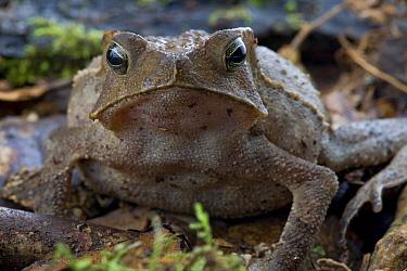 Crested Forest Toad (Bufo margaritifer), Brownsberg Reserve, Surinam  -  Piotr Naskrecki