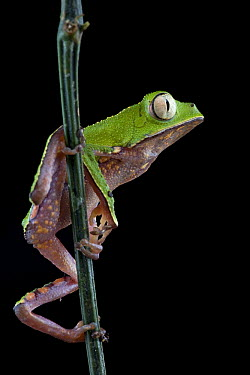 White-lined Leaf Frog (Phyllomedusa vaillanti), Brownsberg Reserve, Surinam  -  Piotr Naskrecki