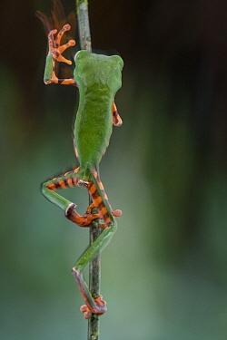 Tiger-striped Leaf Frog (Phyllomedusa tomopterna) climbing stem, Brownsberg Reserve, Surinam  -  Piotr Naskrecki