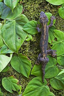 Turnip-tailed Gecko (Thecadactylus rapicauda), Brownsberg Reserve, Surinam  -  Piotr Naskrecki