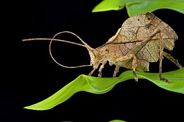 Katydid (Typophyllum sp) cleaning antenna, Brownsberg Reserve, Surinam  -  Piotr Naskrecki