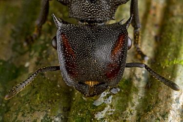 Ant (Cephalotes atratus) worker, Sipaliwini, Surinam  -  Piotr Naskrecki