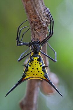 Spiny Spider (Micrathena schreibersi), Sipaliwini, Surinam  -  Piotr Naskrecki