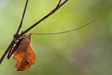 Katydid (Typophyllum sp), Sipaliwini, Surinam  -  Piotr Naskrecki