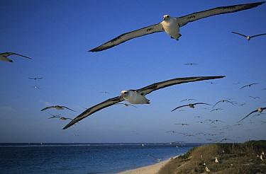 Laysan Albatross (Phoebastria immutabilis) group flying on approach to nesting colony, Midway Atoll, Hawaiian Leeward Islands, Hawaii  -  Tui De Roy