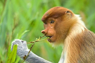 Proboscis Monkey (Nasalis larvatus) female feeding on leaves of mangrove, Sabah, Malaysia  -  Suzi Eszterhas