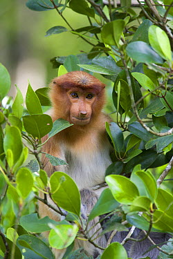 Proboscis Monkey (Nasalis larvatus) juvenile in mangrove tree, Sabah, Malaysia  -  Suzi Eszterhas