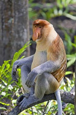 Proboscis Monkey (Nasalis larvatus) dominant male, Sabah, Malaysia  -  Suzi Eszterhas