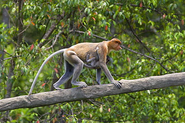 Proboscis Monkey (Nasalis larvatus) female and two to three month old baby clinging to her climbing along branch, Sabah, Malaysia  -  Suzi Eszterhas