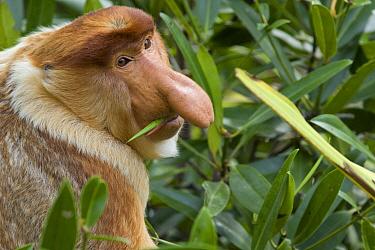 Proboscis Monkey (Nasalis larvatus) dominant male feeding on mangrove leaves, Sabah, Malaysia  -  Suzi Eszterhas